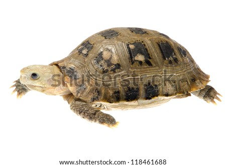 Burmese Elongated tortoise pet turtle