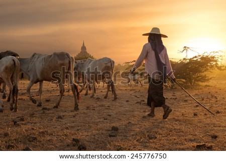 Burmese herder leads cattle herd through amazing sunset landscape with ancient Buddhist pagodas at Bagan. Myanmar (Burma), travel destinations  - stock photo