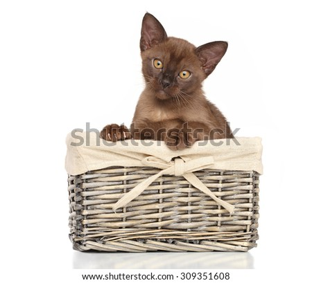 Burmese kitten in wicker basket on white background