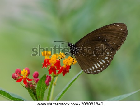 Burmese Raven butterfly collecting nectar from flower.