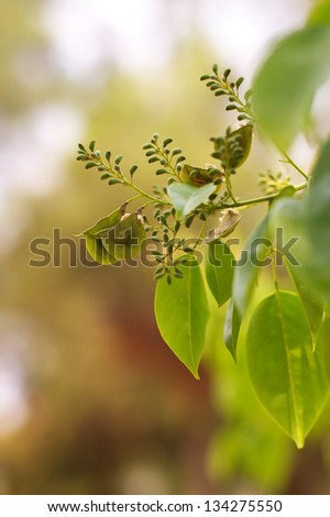 Burmese rosewood seed on the tree - stock photo