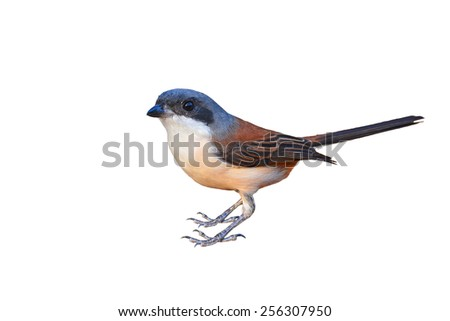 Burmese Shrike bird (Lanius collurioides) on white background with clipping path - stock photo