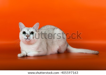 Burmilla white cat at orange background