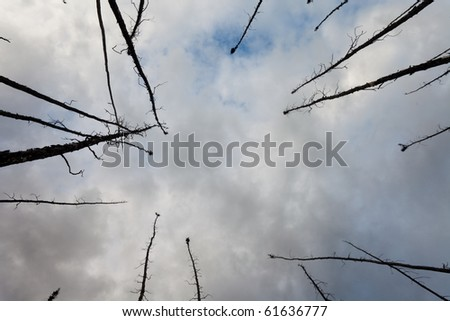 Burned boreal forest, standing dead charred black spruce trees - stock photo