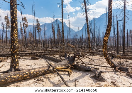 Burned forest at the Jasper national park canada  - stock photo