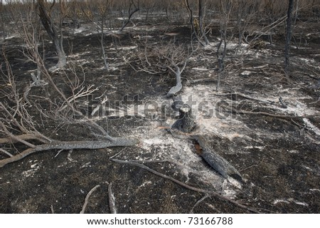 Burned Mesquite tree after a brush fire
