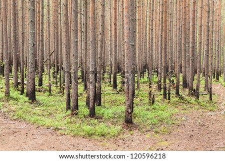 Burned stems of pines in evergreen forest - stock photo