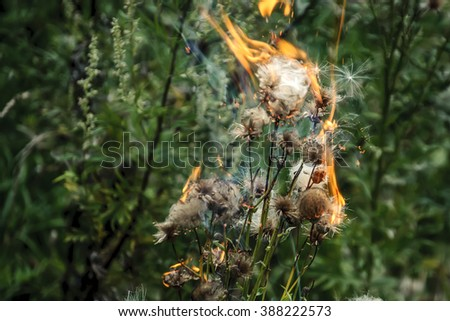 Burning grass and dandelion flowers on the summer meadow