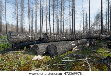 Burnt coniferous trees piled in forest after a forest fire in sweden