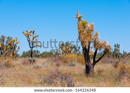 Burnt Joshua Tree in Joshua Tree National Park, California, USA - stock photo