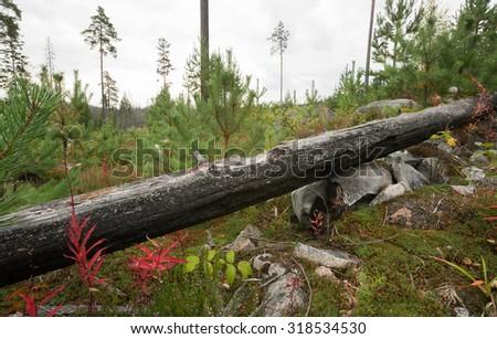 Burnt pine log containing larva of Tragosoma depsarium - stock photo