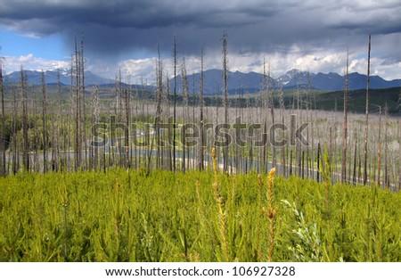 Burnt trees in Glacier  park - stock photo
