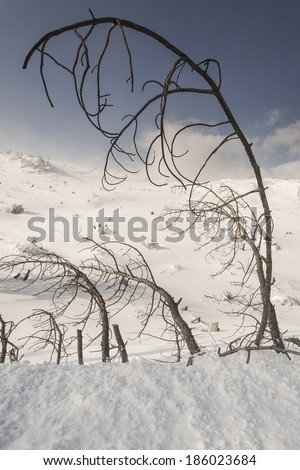 Burnt trees, tilted from the wind, on the slope of mount Parnitha, Attica, Greece, during winter time.