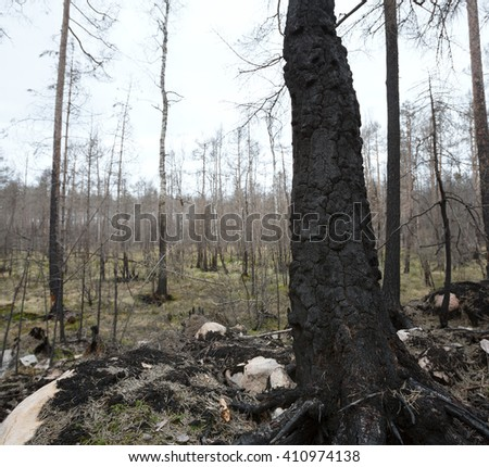 Burnt warty birch, Betula pendula after a big forest fire in sweden