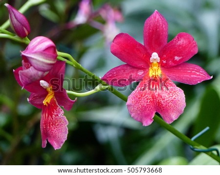Burrageara  ,Nelly Isler, orchid. Orchidaceae family