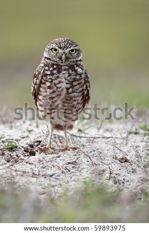 Burrowing Owl against a blurred background. - stock photo