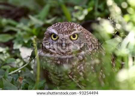 Burrowing Owl amongst vegetation - stock photo