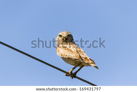 Burrowing Owl and blue sky