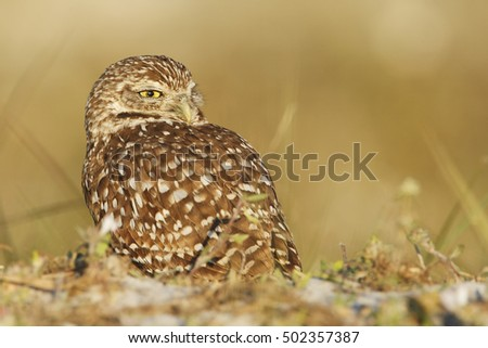 Burrowing owl (Athene cunicularia floridana) looking  to the right, Cape Coral, Florida, USA