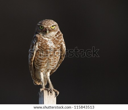 Burrowing Owl, Athene cunicularia, perched against a dark natural background