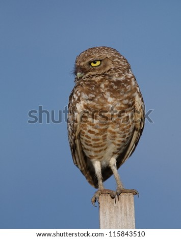Burrowing Owl, Athene cunicularia, perched against a deep blue sky background - stock photo