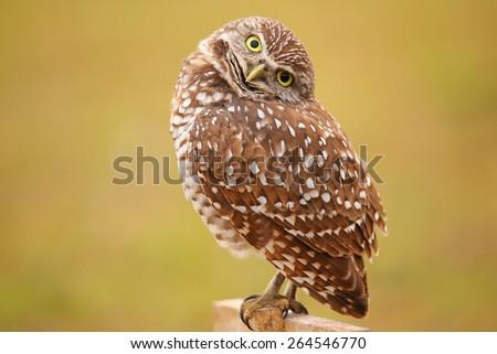 Burrowing Owl (Athene cunicularia) sitting on a pole - stock photo