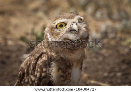 Burrowing Owl (Athene cunicularia) with evil face looking at camera. Patagonia, Argentina, South America