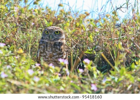 Burrowing Owl emerges from his den.