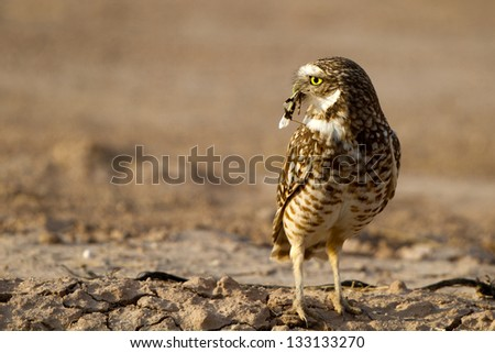 Burrowing Owl has caught an insect near the Salton Sea in southern California - stock photo