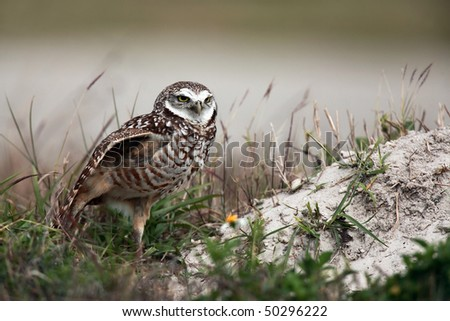 Burrowing Owl stretching and standing on one foot. - stock photo