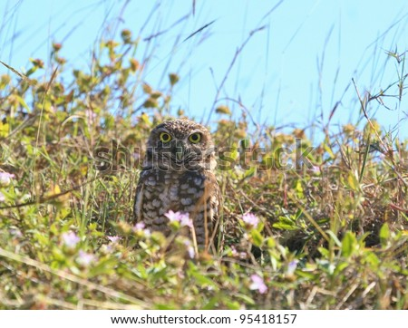 Burrowing Owl watches over his den. - stock photo