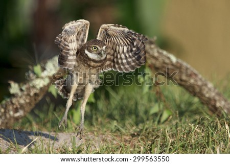 Burrowing owlet taking off