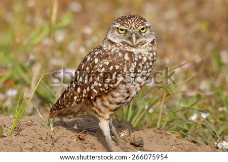 Burrowing Owls (Athene cunicularia) standing on the ground - stock photo
