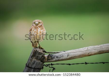 Burrowing Owls, Grasslands National Park Saskatchewan Canada - stock photo