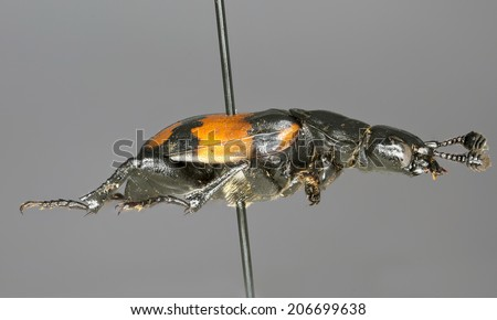 Burying beetle (Nicrophorus vespilloides) - pinned preserved museum specimen, isolated on grey, side profile. - stock photo