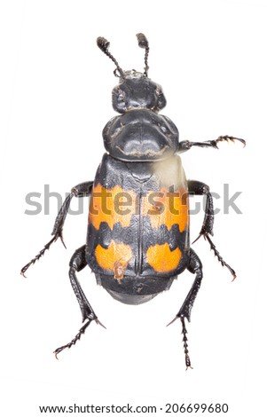 Burying beetle (Nicrophorus vespilloides) - pinned preserved museum specimen, isolated on grey, top down profile. - stock photo