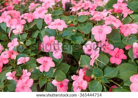 Bush bloom pink flowers in the garden - stock photo
