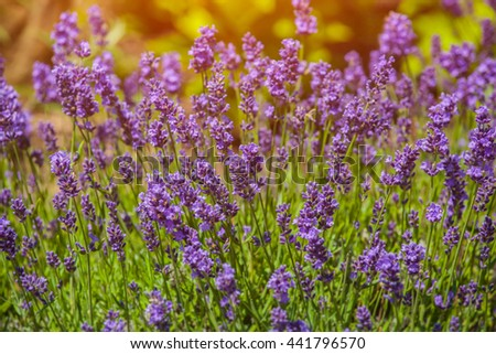 Bush blooming, low, lit by purple lavender sun hot, summer day in the garden. - stock photo