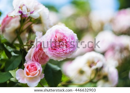 Bush blossoming flower pink rose summer day