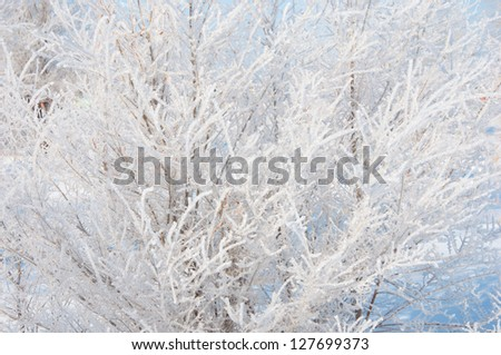 bush covered with hoarfrost