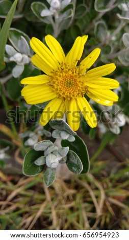 Bush daisy, yellow, with damaged petals on dry grass background
