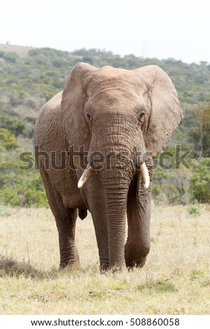 Bush Elephant with big tusks walking up to you.