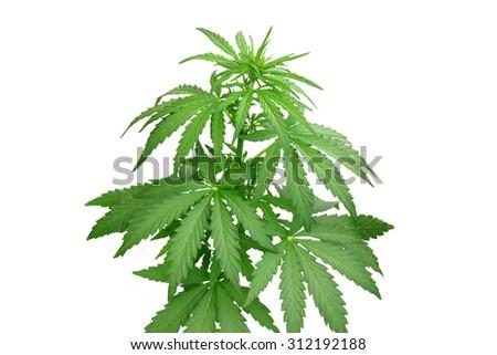 Bush hemp on a secluded white background - stock photo