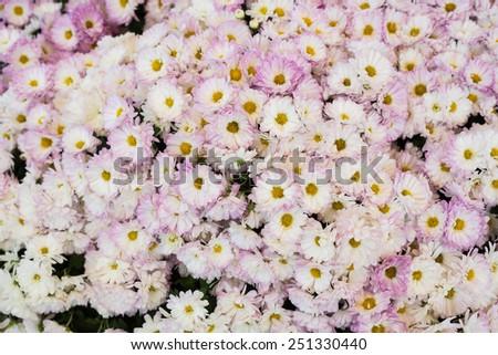 bush of beautiful purple and white gerbers - stock photo