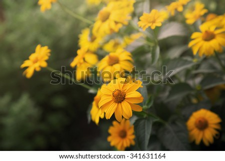 bush of blooming coreopsis flowers  - stock photo