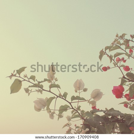 Bush of Bougainvillea flowers with retro filter effect - stock photo