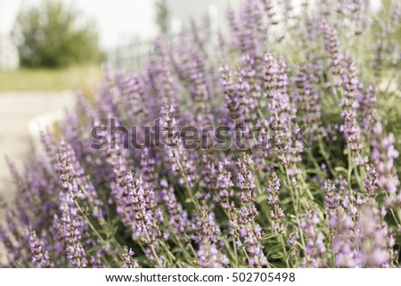 Bush of flowering desert sage in shallow DOF