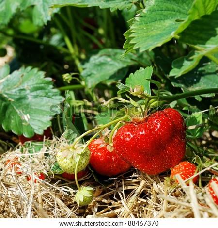 bush of fresh red strawberry - stock photo