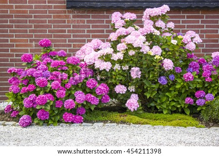 bush of hortensia flowers