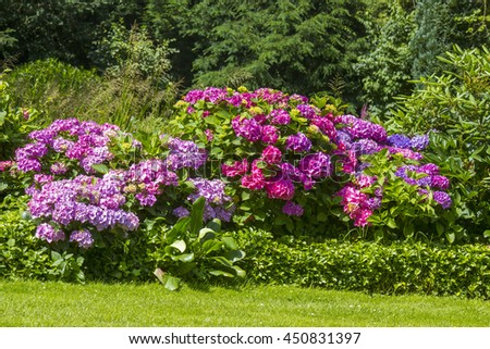 Bush of Hortensia flowers in the garden, Germany